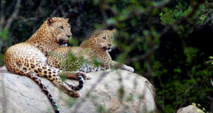 Leopards_Yala