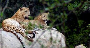 Leopards_Yala